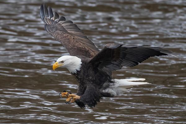 Bald_Eagle (7)