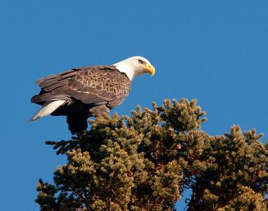 Bald Eagle 43