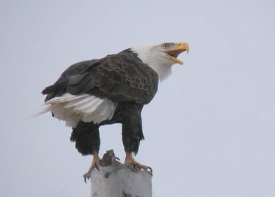 Bald Eagle 46