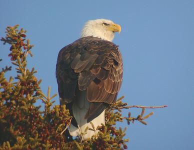 Bald Eagle 3