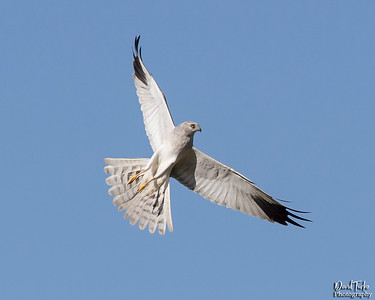 Pallid Harrier, Male