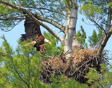 Bald Eagle 36