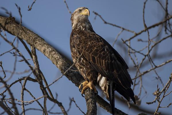 Bald_Eagle (19)