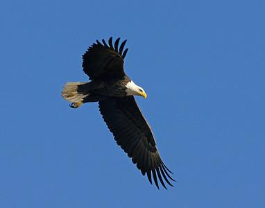 Bald Eagle 44