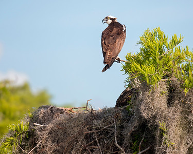 Perched Osprey over Nest