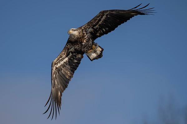 Bald_Eagle (20)