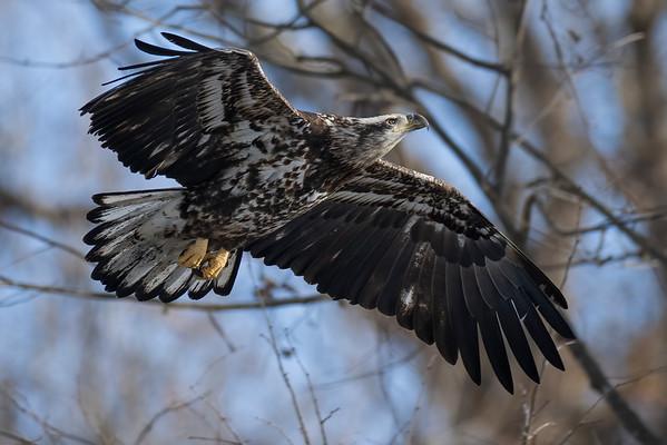 Bald_Eagle (21)