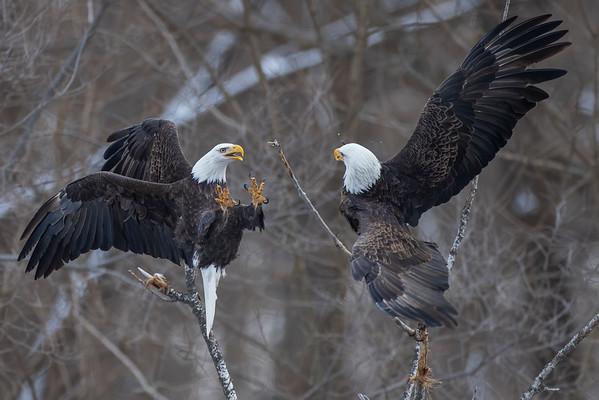Bald_Eagle (2)