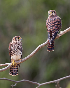 Juvenile Kestrel Falcons