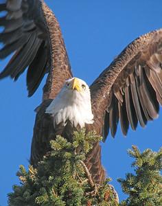Bald Eagle 28