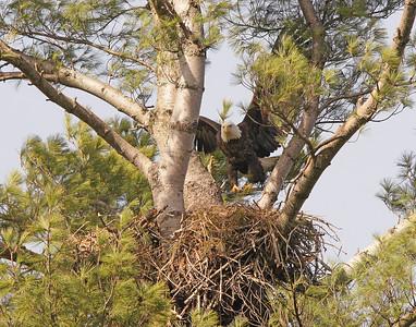 Bald Eagle 40