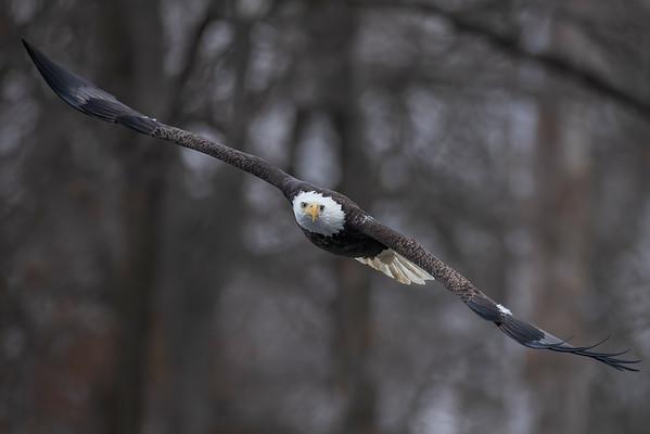 Bald_Eagle (14)