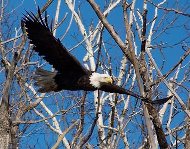 Bald Eagle 29