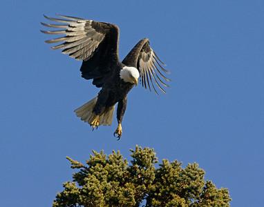 Bald Eagle 27