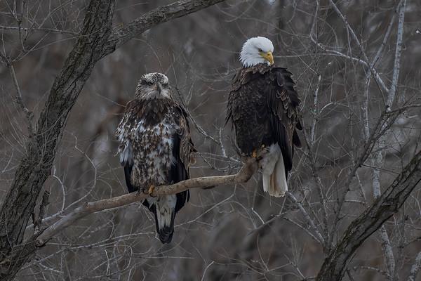 Bald_Eagle (10)