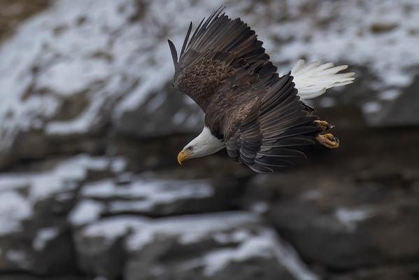 Bald_Eagle (6)