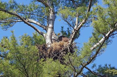 Bald Eagle 34