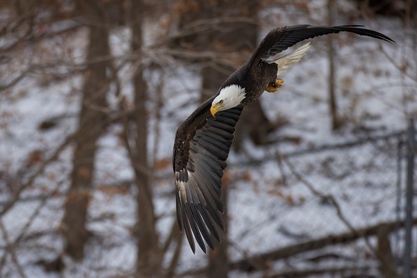 Bald_Eagle (18)