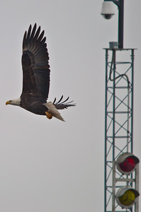 I Stop For Bald Eagles