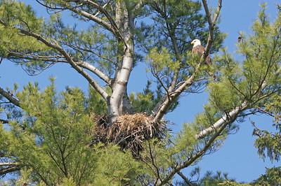 Bald Eagle 33