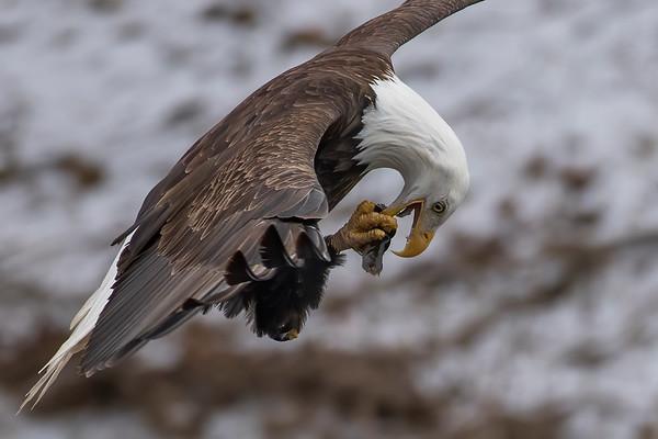 Bald_Eagle (5)