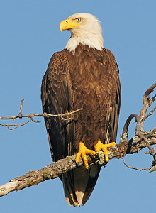 Bald Eagle 26