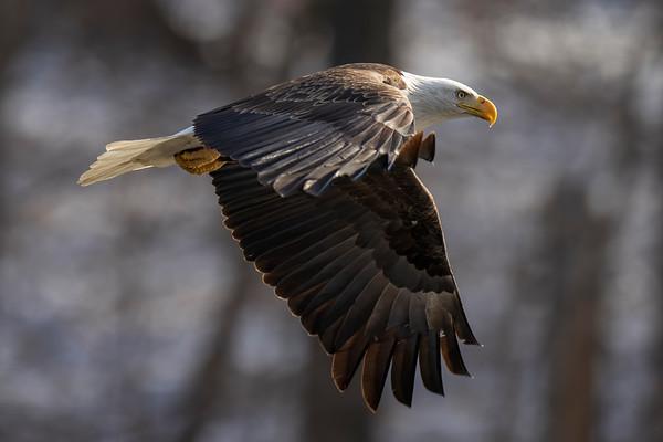 Bald_Eagle (24)