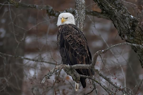 Bald_Eagle (11)
