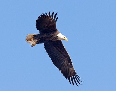 Bald Eagle 45
