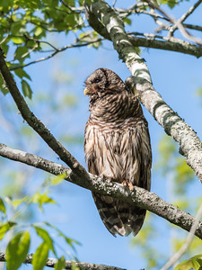 Barred Owl VA 2 May 2018-2116