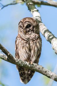Barred Owl VA 2 May 2018-2153