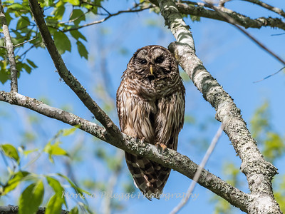 Barred Owl VA 2 May 2018-2092