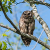Barred Owl VA 2 May 2018-2092