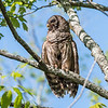 Barred Owl VA 2 May 2018-2096