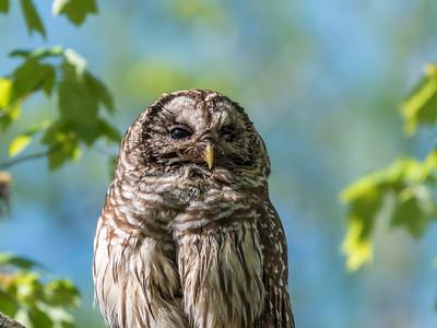 Barred Owl VA 2 May 2018-2134