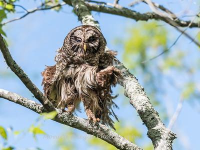 Barred Owl VA 2 May 2018-2056