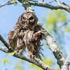 Barred Owl VA 2 May 2018-2056