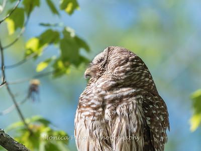 Barred Owl VA 2 May 2018-2144