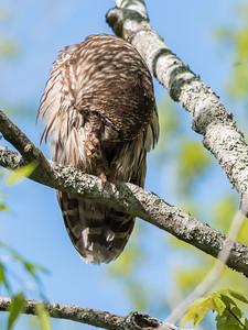 Barred Owl VA 2 May 2018-2129