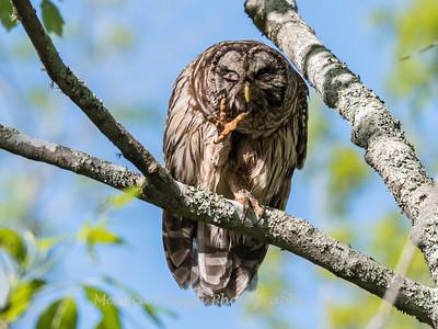 Barred Owl VA 2 May 2018-2124