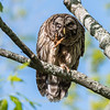 Barred Owl VA 2 May 2018-2124
