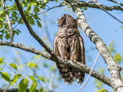 Barred Owl VA 2 May 2018-2094