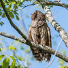 Barred Owl VA 2 May 2018-2094