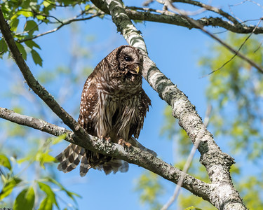 Barred Owl VA 2 May 2018-2087