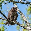 Barred Owl VA 2 May 2018-2087