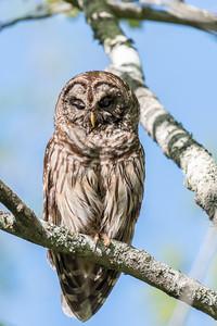 Barred Owl VA 2 May 2018-2152
