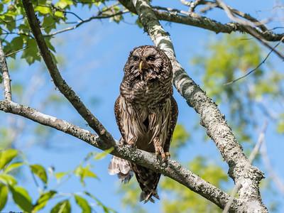 Barred Owl VA 2 May 2018-2066
