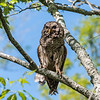 Barred Owl VA 2 May 2018-2066