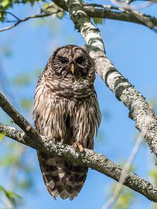 Barred Owl VA 2 May 2018-2108