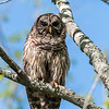 Barred Owl VA 2 May 2018-2108